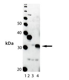 ADI-OSA-150 WB